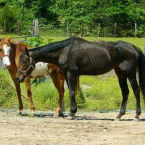 Very thin horse standing on dirt. Pronounced ribs and hip bones