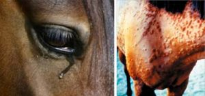 signs of Equine Allergies. a weepy eye and a horses neck with lumps right covering it