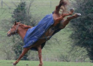 Horse in cover bucking in paddock