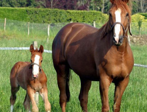 Nutrition for Brood Mares