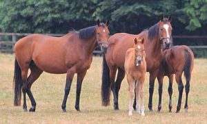 two mares with foals standing in paddock together resting