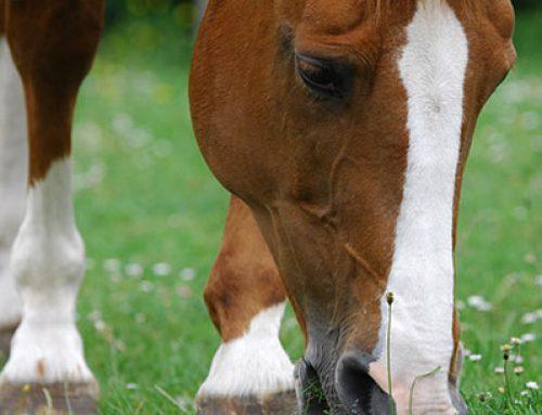 Vitamin E Supplement for Horses