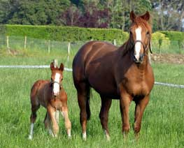 Chestnut Mare and foal standing in knee high grass