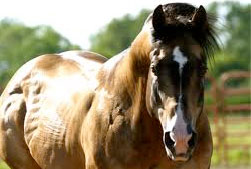 Bay horse front on, showing over muscled neck, shoulder, back and hind quarters.