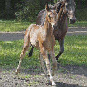 Young bay horse trotting beside broodmare
