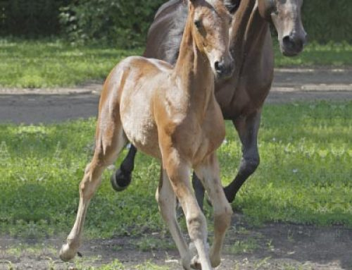 Developing the Growth of the Young Horse Safely