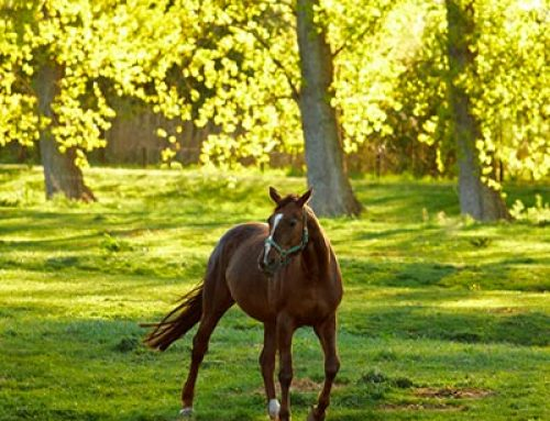 Effects of Sun on Equine Skin