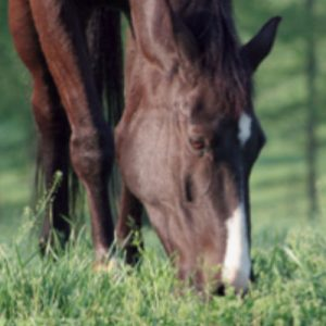 Close up of horse face from the front of horse grazing