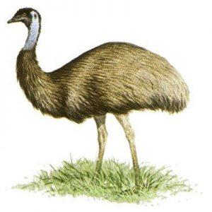 Illustration of emu
