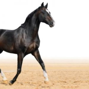Healthy happy horse trotting from left side of image
