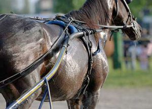 Side on view of horse with harness on. Horse is covered in sweat.