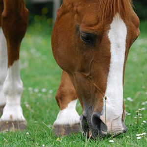 Close up of horses face grazing green pasture