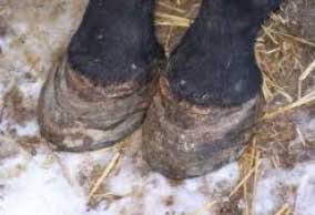 Close up of horses hooves, showing ridges and signs of selenium over supplementation