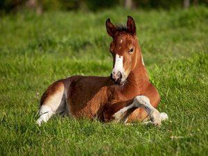Bay foal resting in grass paddock