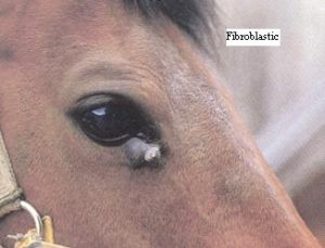 Example of fibroblastic sarcoid on front corner of horses eye
