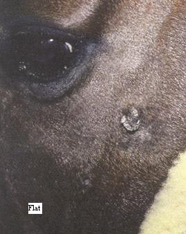 Close up of horses eye and cheek with a flat sarcoid showing just below the eye and cheek bone