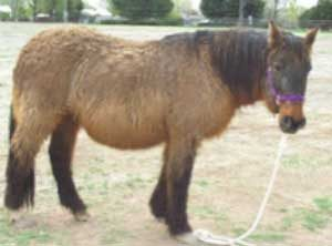 Horse with rough shaggy coat from cushings disease.