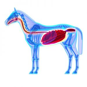 Transparent illustration of horse with digestive tract and stomach highlighted